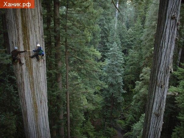 Ботаники берут образцы породы красного дерева, высотой более ста метров, в Калифорнии