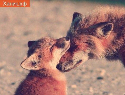 Материнская любовь бесценна. Лиса и лисенок