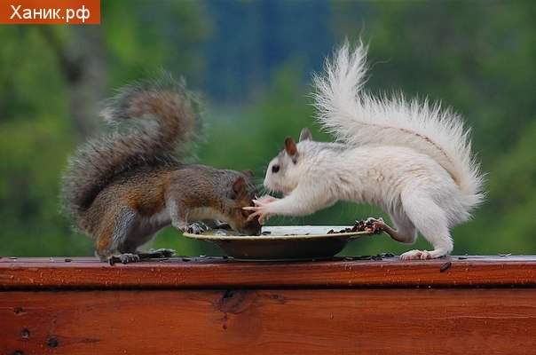 МНЕ, МНЕ ОСТАВЬ. Две белки дерутся за орех