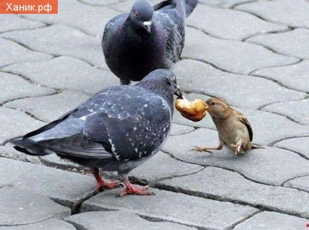 Никогда не сдавайся! Воробей и голубь с куском хлема
