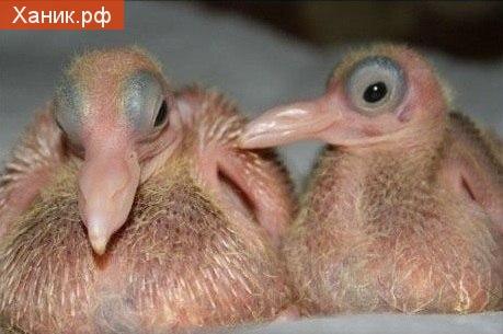 Птенцы голубя. Одной загадкой меньше