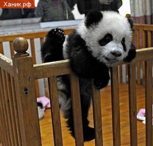 Детеныш панды вылазит из кроватки