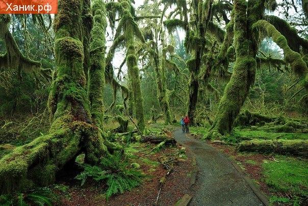 Hoh Rain Forest, национальный парк Олимпик, США