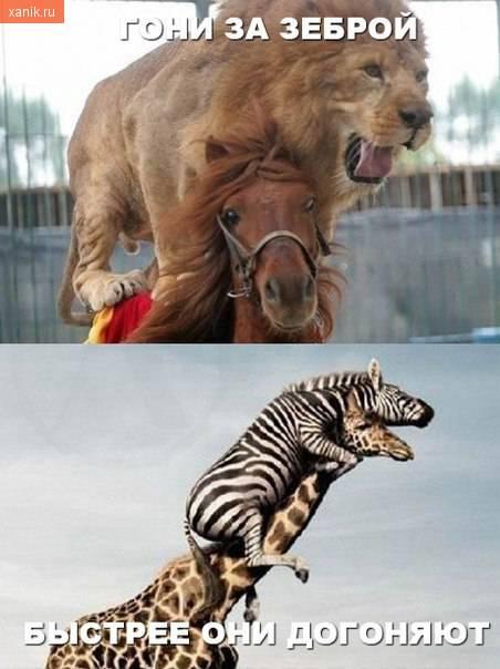 Гони за зеброй! Лев на лошади. Быстрее они догоняют. Зебра на жирафе